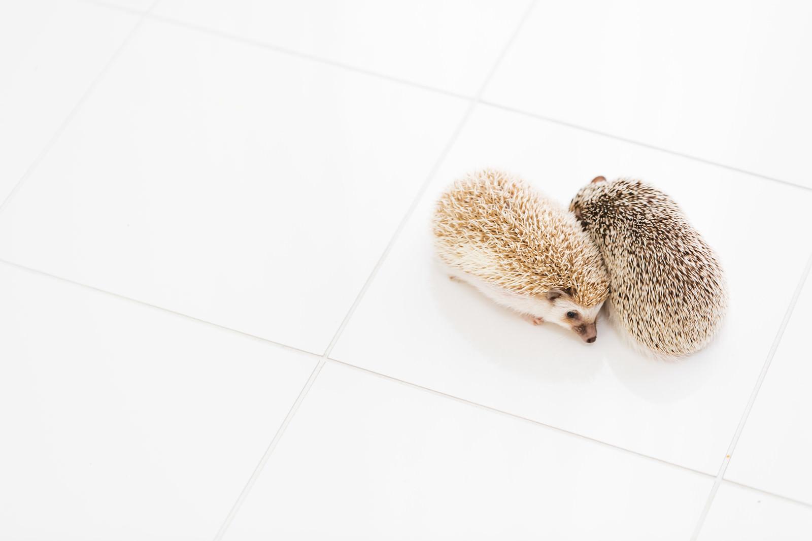 「寄り添うハリネズミ」の写真