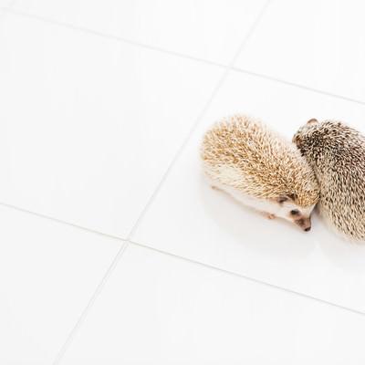 「寄り添うハリネズミ」の写真素材