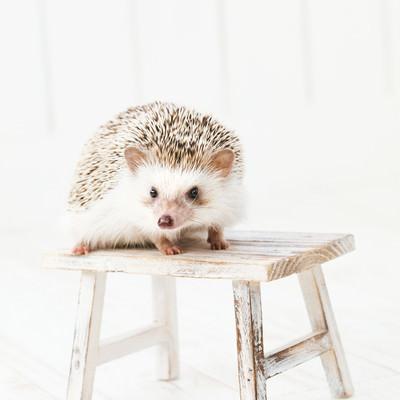 「小さなテーブルの上にハリネズミ」の写真素材