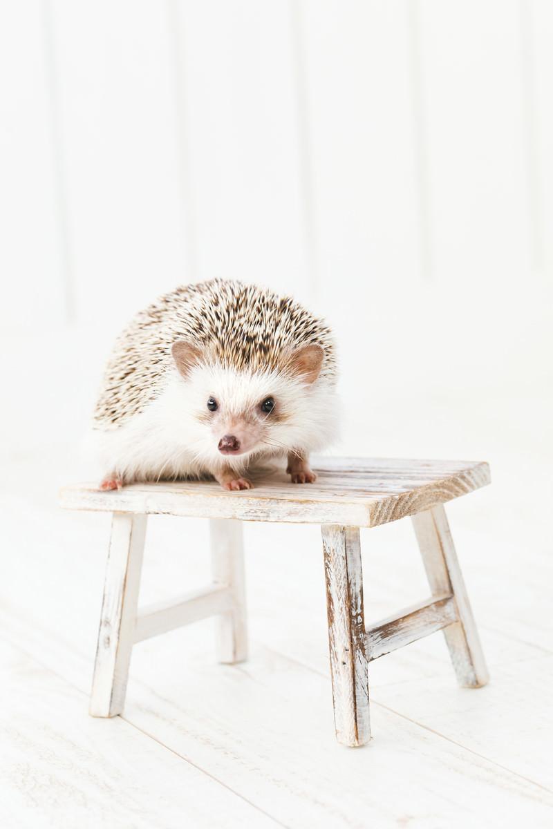 「小さなテーブルの上にハリネズミ」の写真