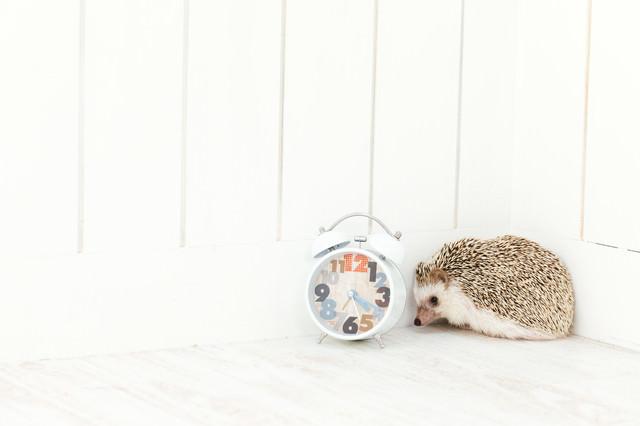 目覚ましが鳴っても起きれないハリネズミの写真
