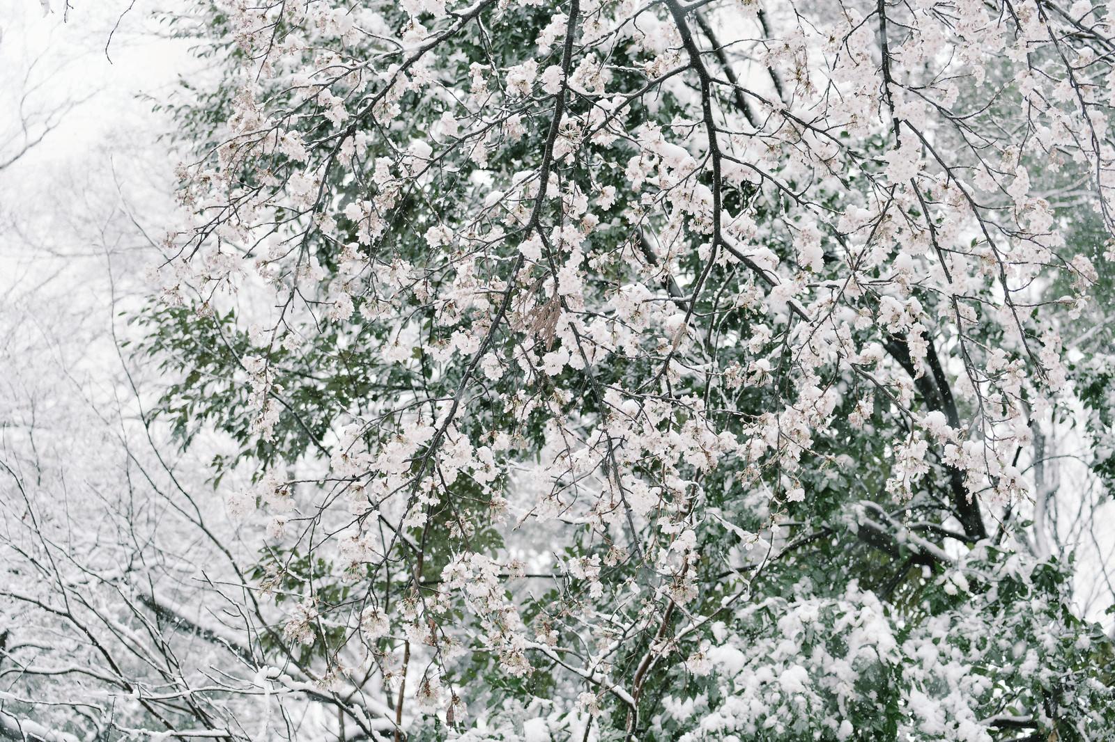 「真っ白な雪が降り積もる白い桜」の写真