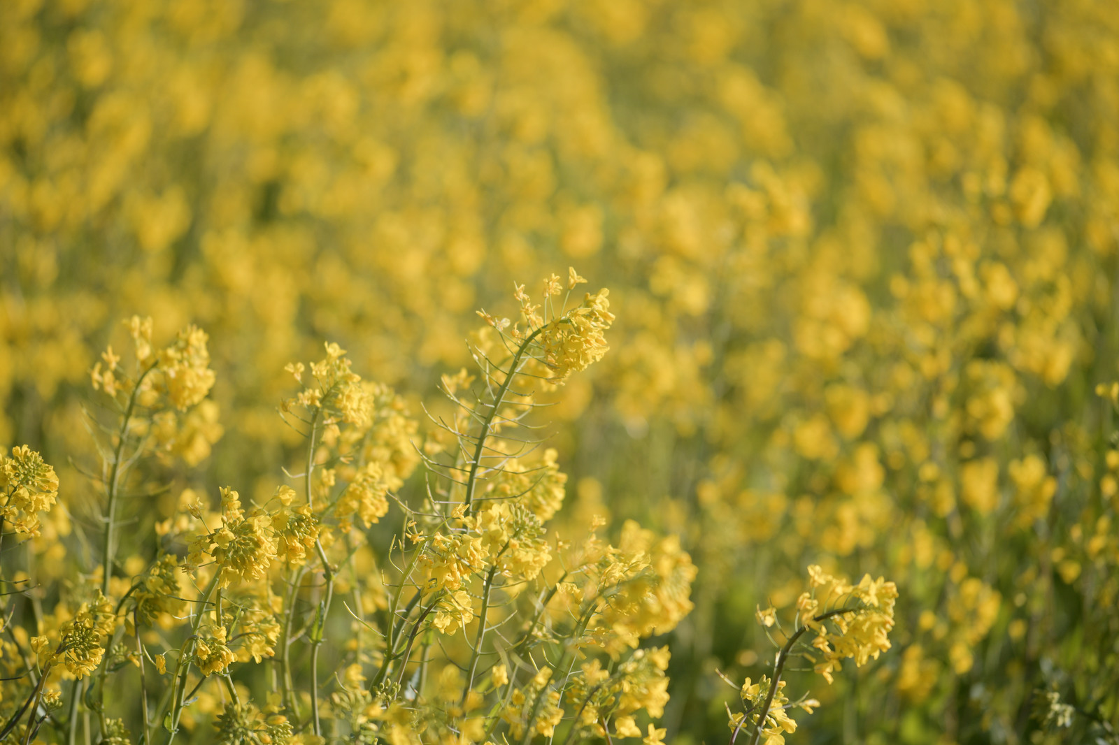 「穏やかな春の日差しに凪ぐ菜の花」の写真