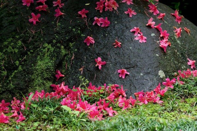 散ったつつじの花の写真