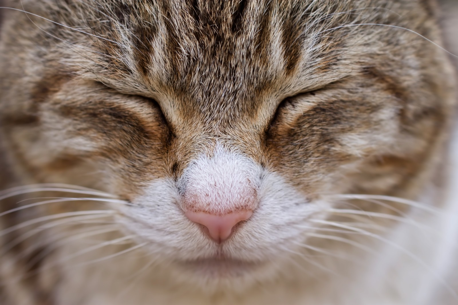 「目をつぶる猫(顔アップ)」の写真