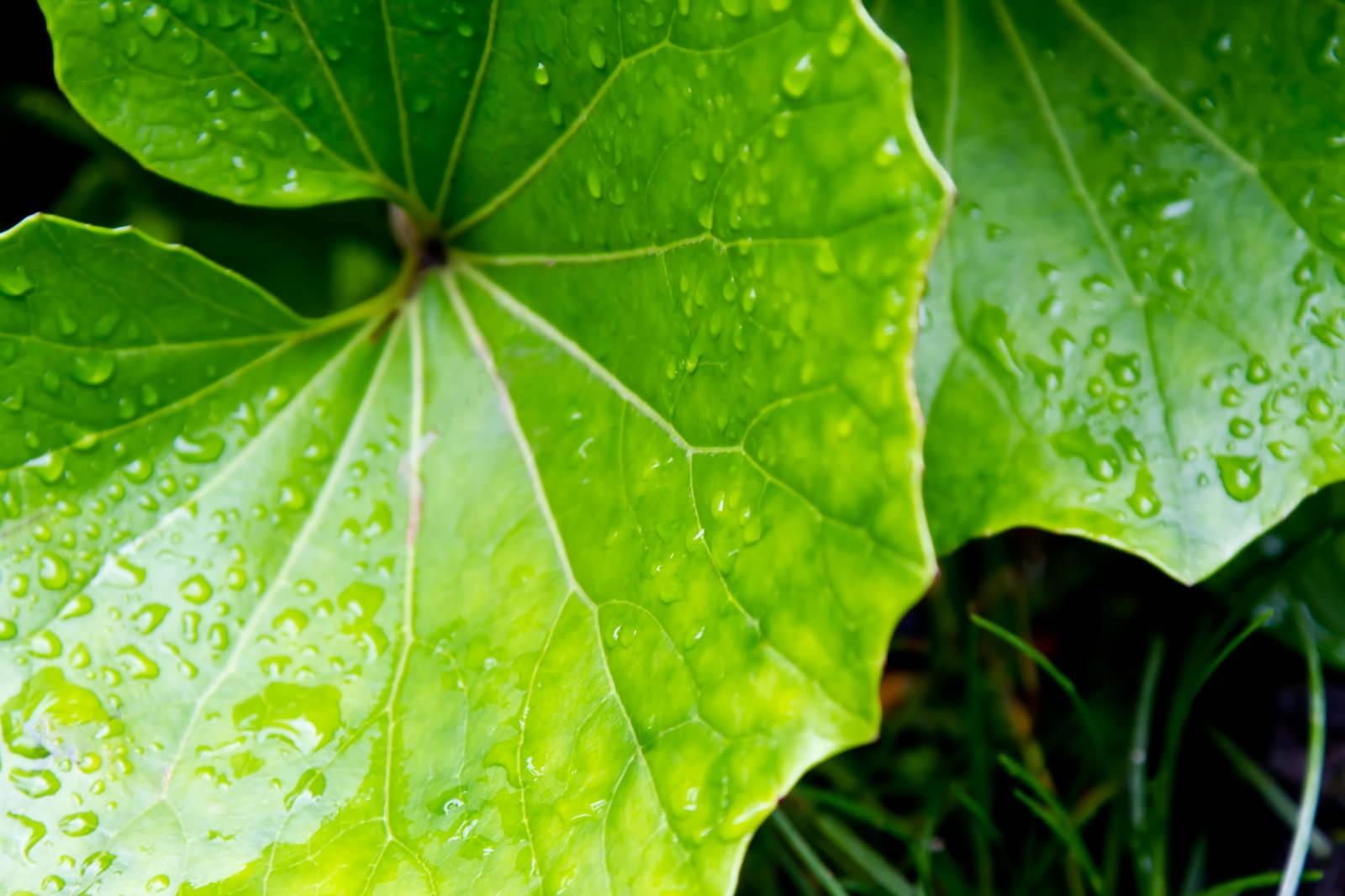 「水をはじく大きな葉」の写真