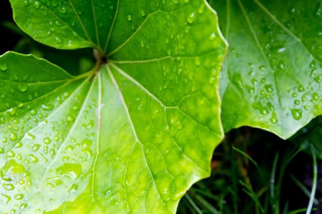 水をはじく大きな葉の写真
