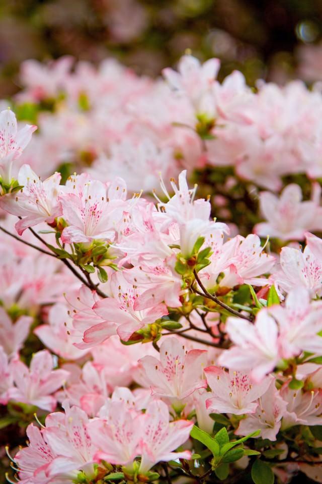ピンク色のつつじの写真