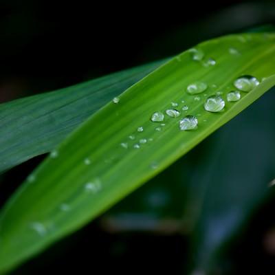 「水滴がついた笹の葉」の写真素材