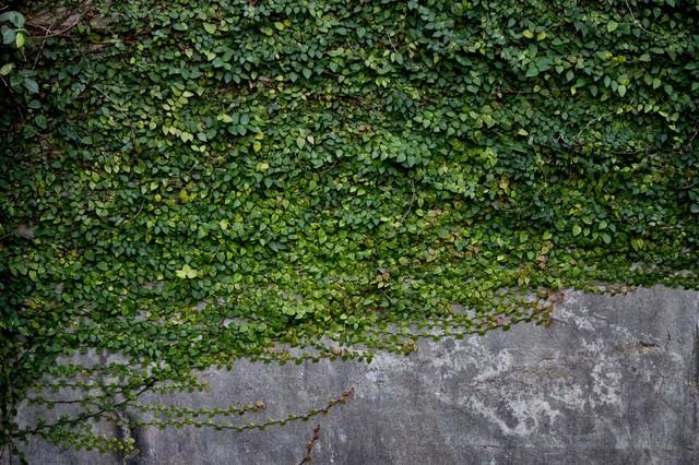 壁を這うように伸びるツタの写真