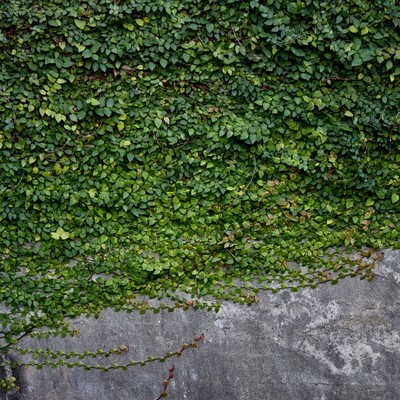 「壁を這うように伸びるツタ」の写真素材