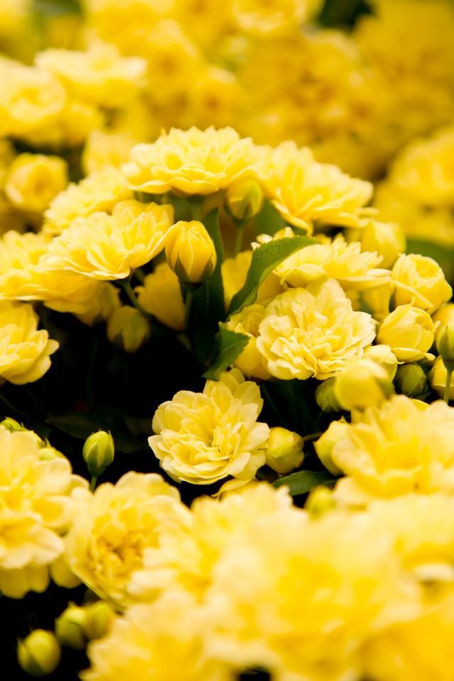 黄色いミモザの花の写真