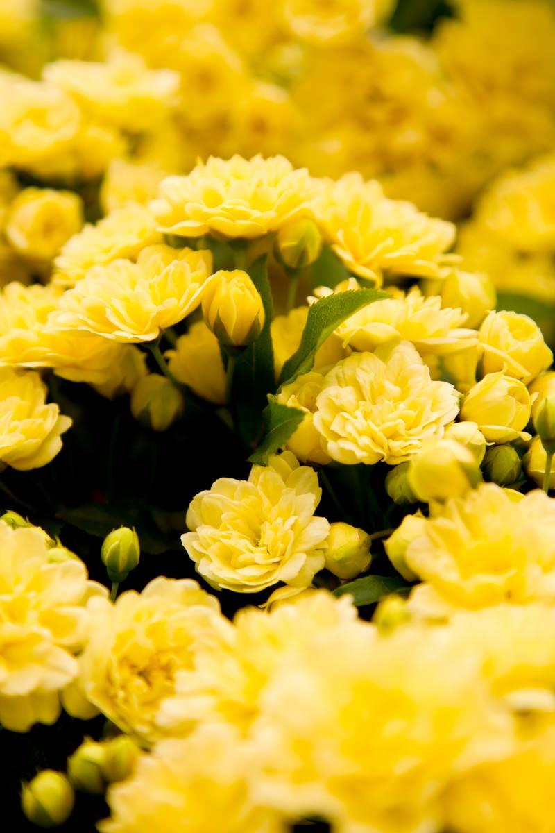 「黄色いミモザの花」の写真