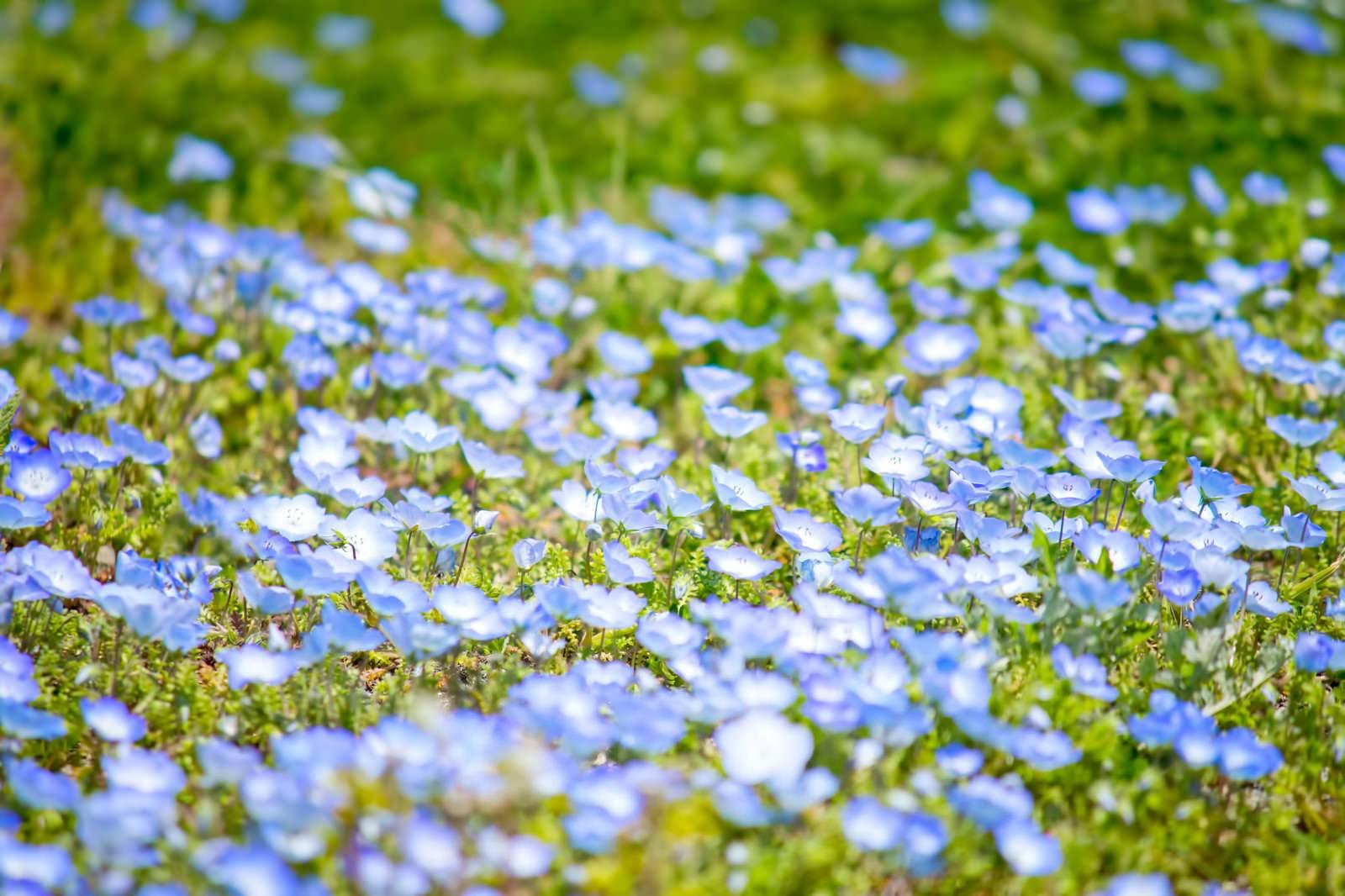「青い小さな花」の写真