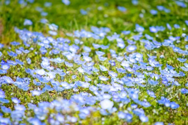 青い小さな花の写真