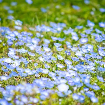 「青い小さな花」の写真素材