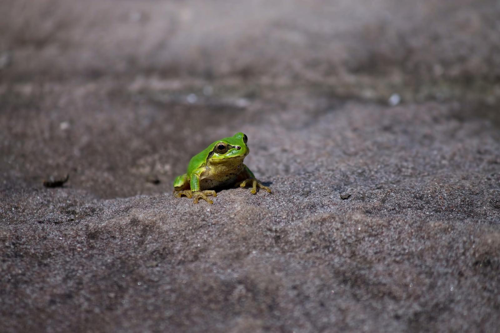 「アスファルトにいたアマガエル」の写真