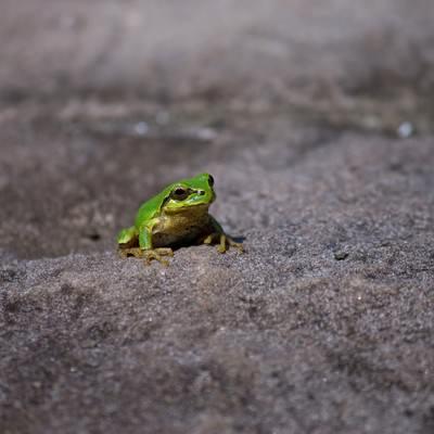 アスファルトにいたアマガエルの写真