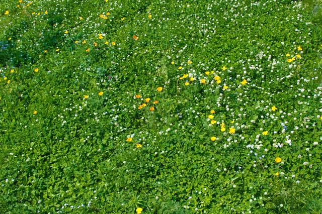 広がる緑とシロツメグサの写真