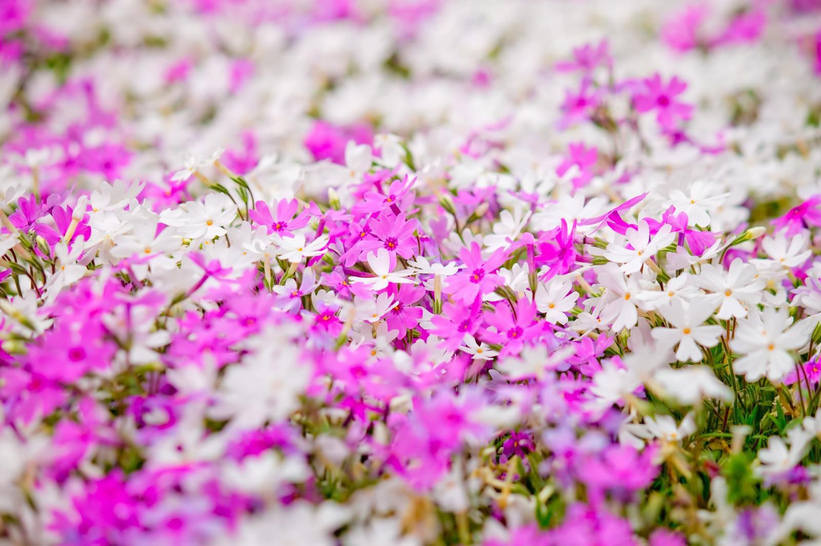 「一面に咲くピンクと白い花」の写真