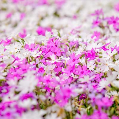 一面に咲くピンクと白い花の写真