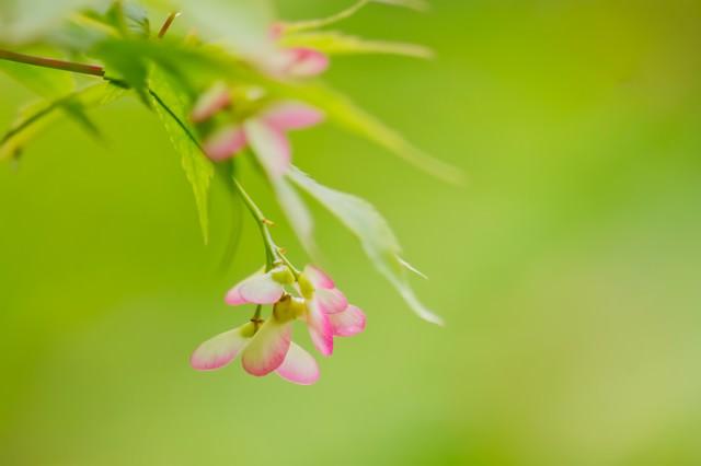楓のつぼみの写真