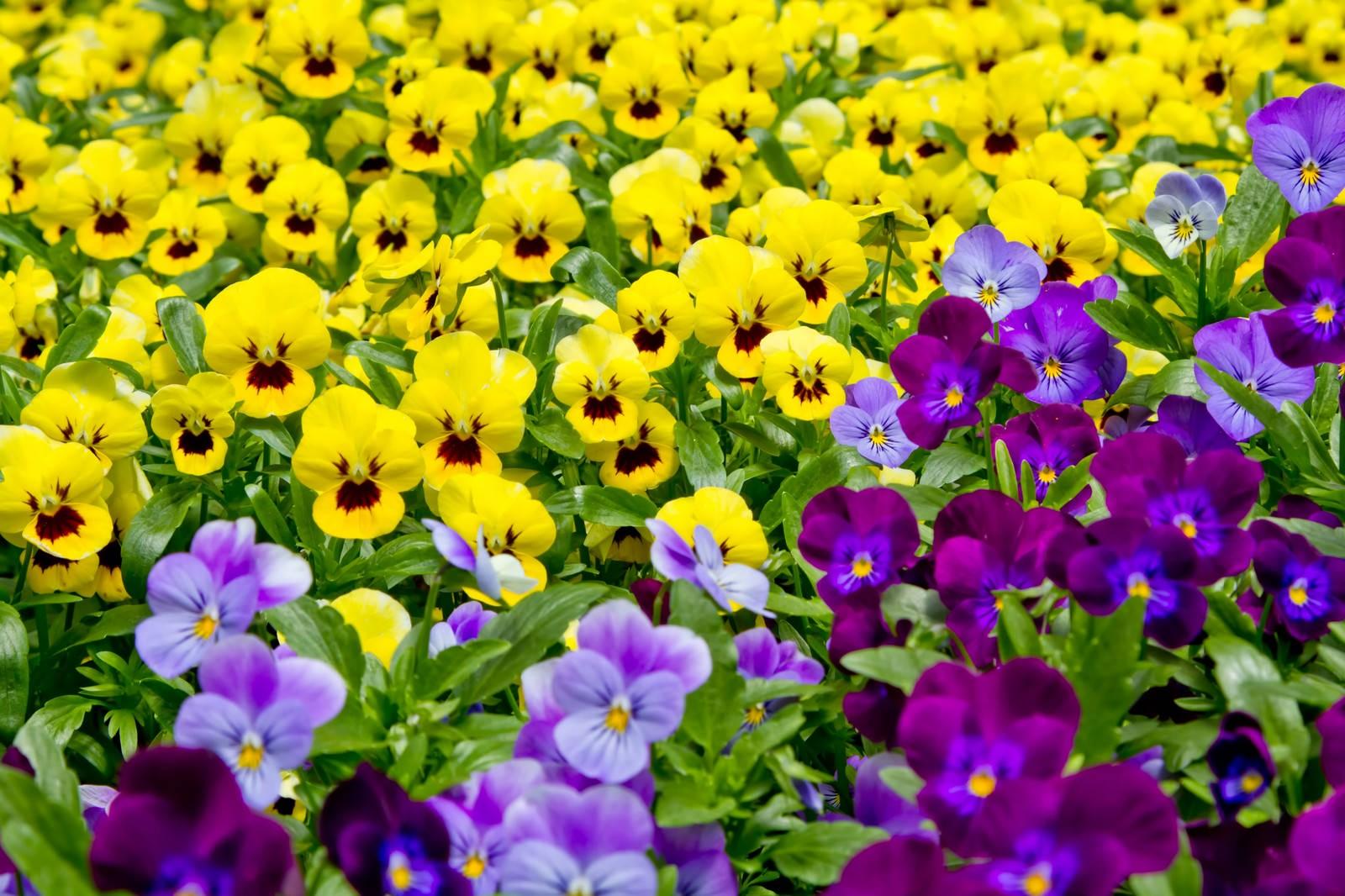 「黄色と紫のパンジー」の写真