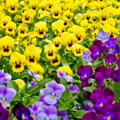 黄色と紫のパンジーの写真