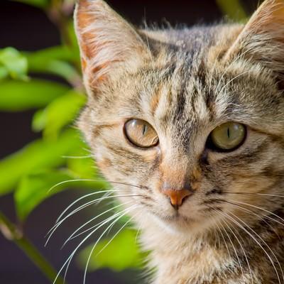 「こちらを見つめる猫」の写真素材