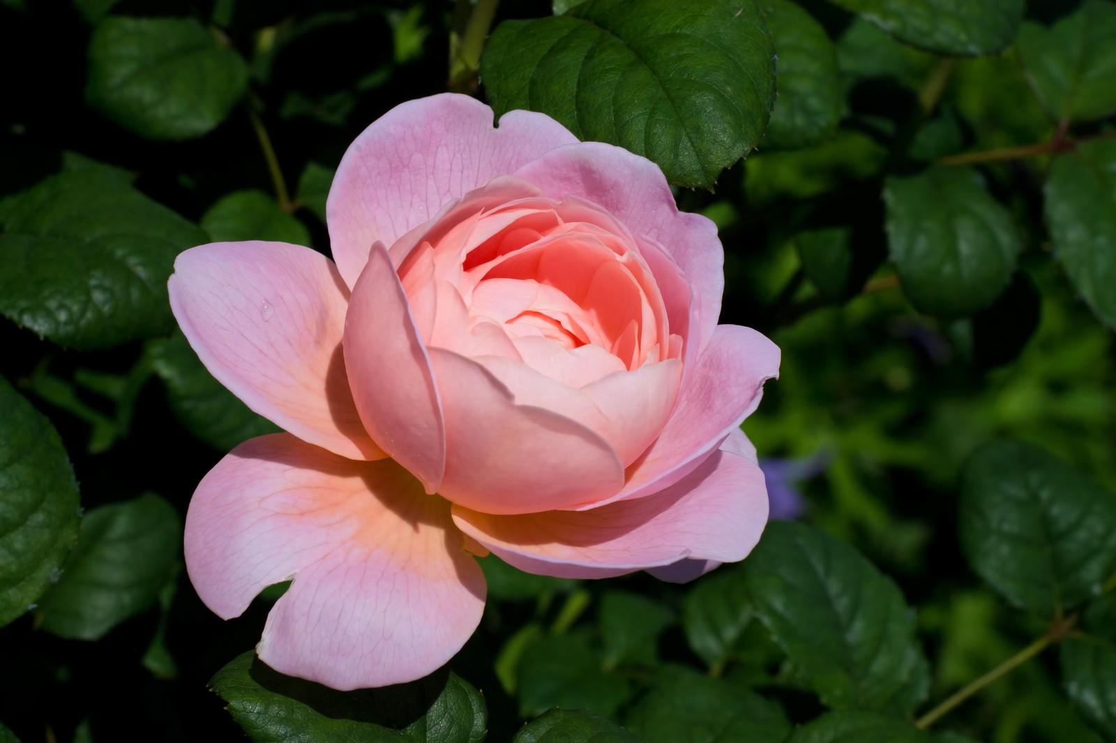 「クイーンオブスウェーデンの薔薇」の写真