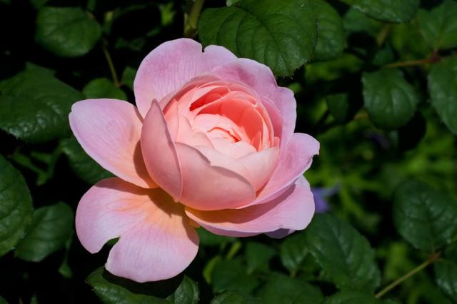 クイーンオブスウェーデンの薔薇の写真