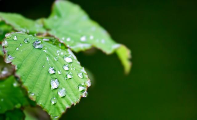 水滴の光る葉の写真