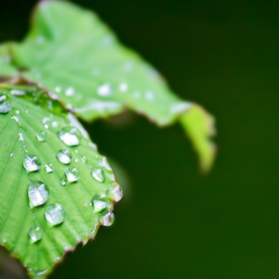 「水滴の光る葉」の写真素材