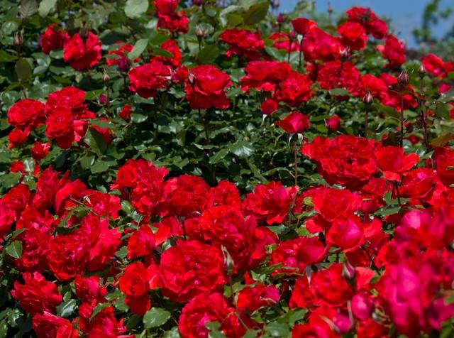 広がる赤い薔薇の写真