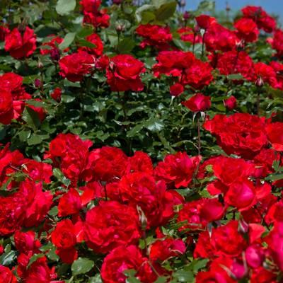「広がる赤い薔薇」の写真素材
