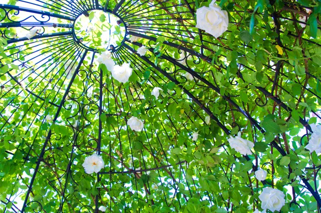 「アーチの中の白い薔薇」のフリー写真素材