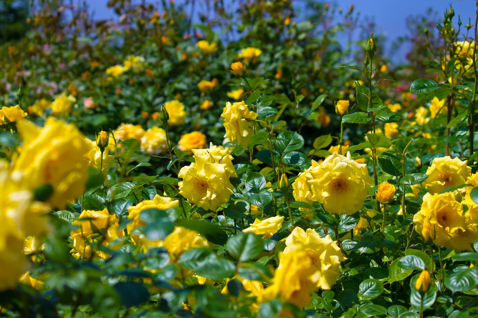 「広がる黄色い薔薇」の写真