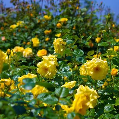 広がる黄色い薔薇の写真