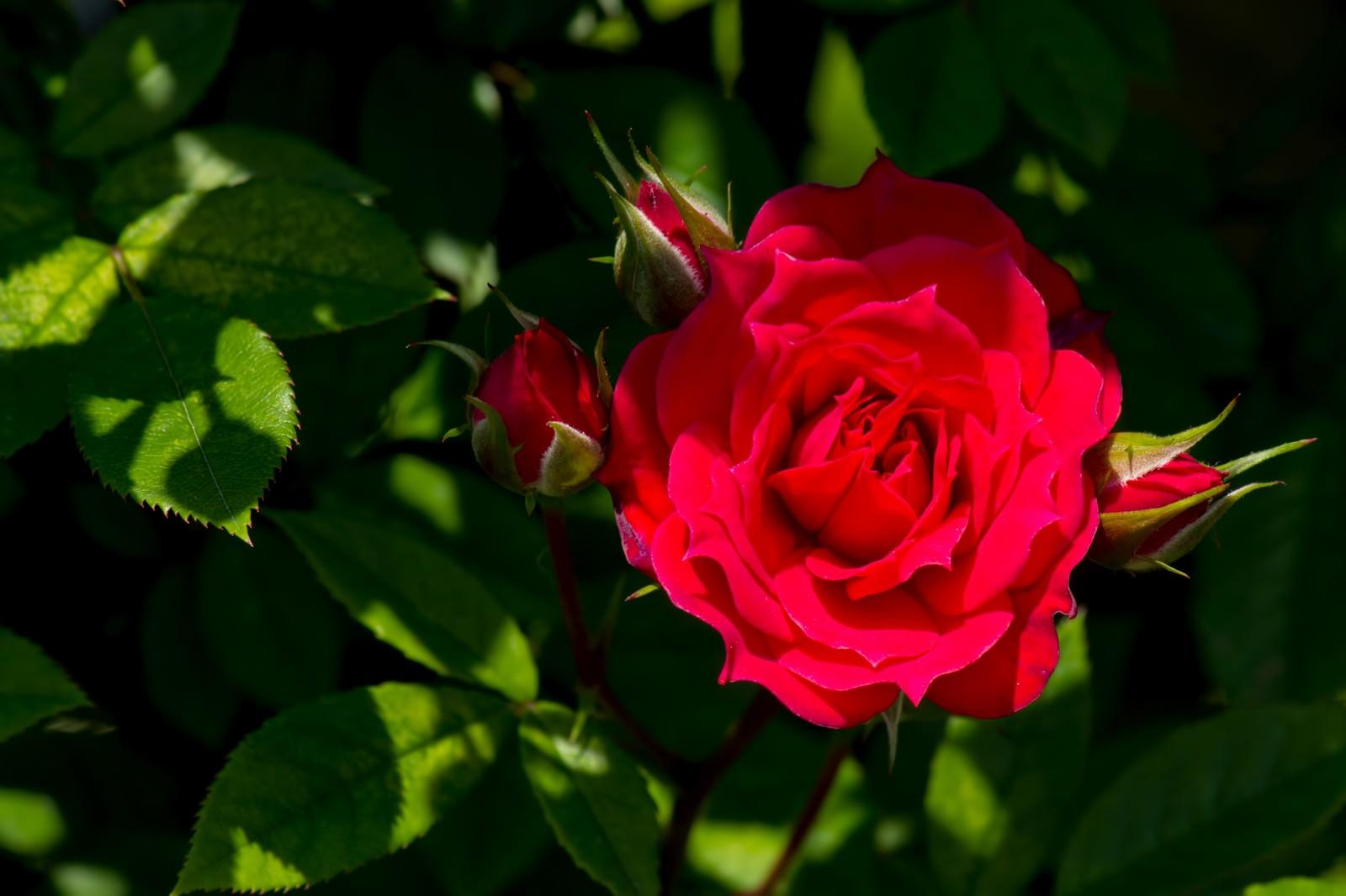 「真紅の赤い薔薇」の写真