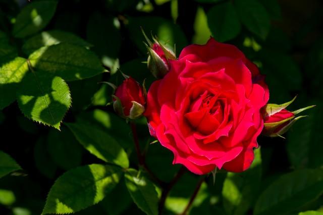 真紅の赤い薔薇の写真