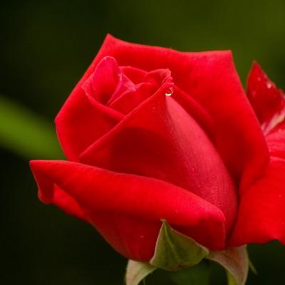 「赤いバラ」の写真素材