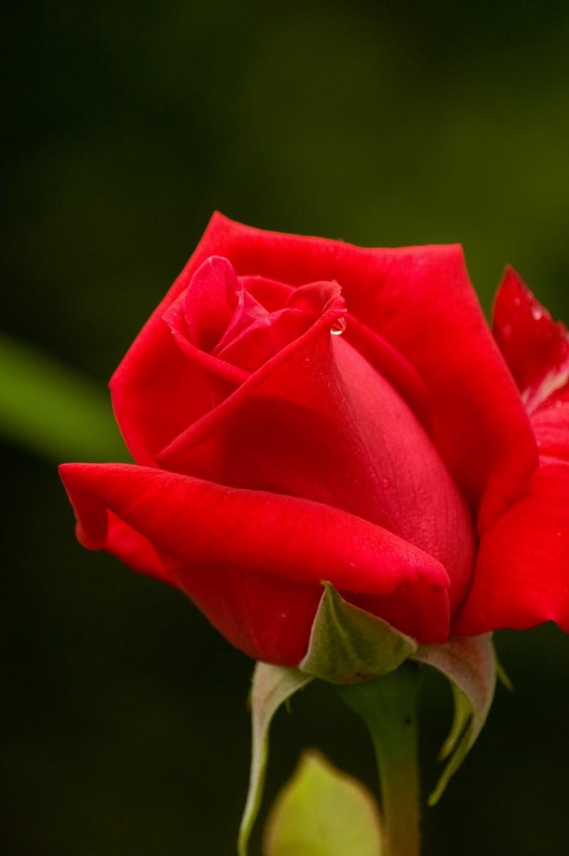 「赤いバラ赤いバラ」のフリー写真素材を拡大