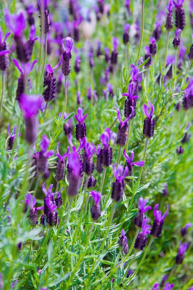 紫のエイボンヴューの写真