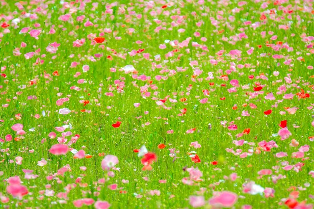 ポピーの花々の写真