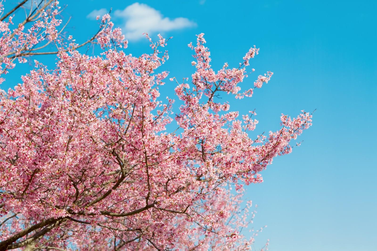 「青空と桜の木青空と桜の木」のフリー写真素材を拡大