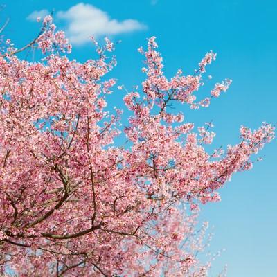 青空と桜の木の写真