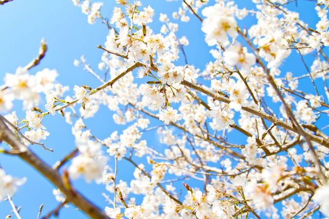 青空と白い桜の写真