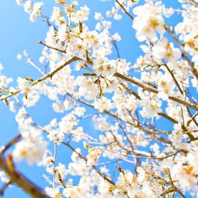 「青空と白い桜」の写真素材