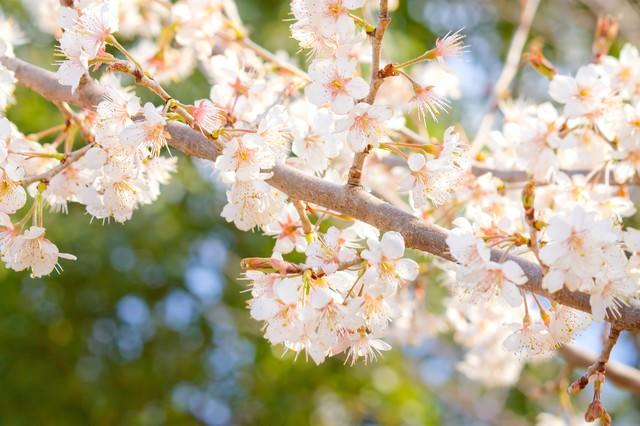 暖かな光の桜の写真