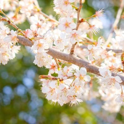 「暖かな光の桜」の写真素材